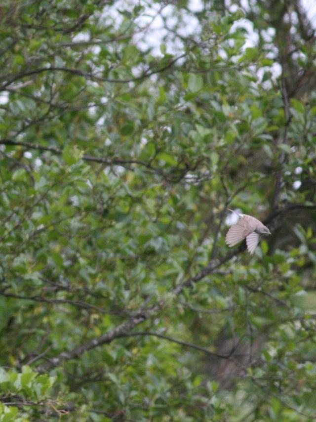 Langeland fugle 2013 176 (2)