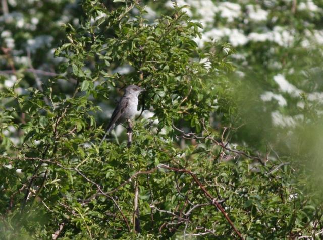 Langeland fugle 2013 326 (2)